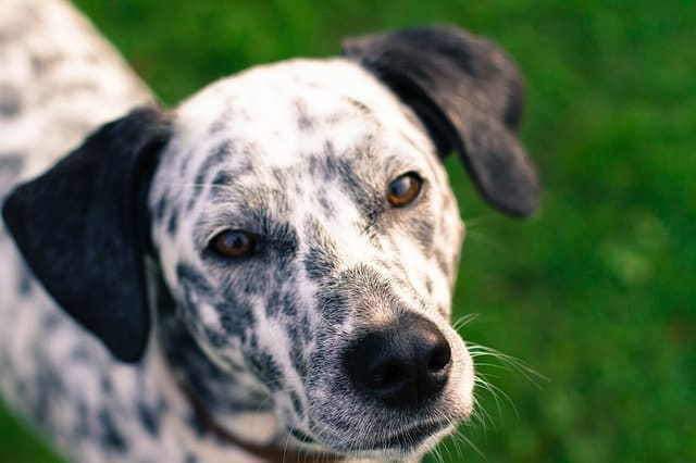 We measure a Dalmatian's intelligence based on 3 factors: obedience, adaptive and instinctive intelligence.