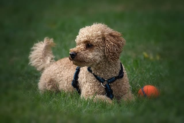 We measure a Poodle's intelligence based on their obedience and working performance.