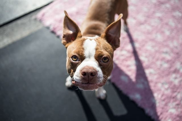 We measure a Boston Terriers intelligence by their obedience.