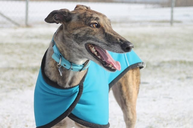 Here's why we ranked Greyhound among average intelligent dogs.