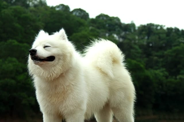 The Samoyed's intelligence is primarily measured by obedience and working intelligence.