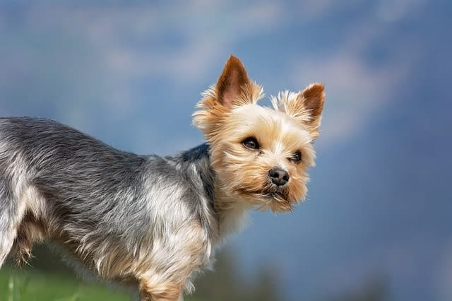 We measure a Yorkie's intelligence based on working and obedience intelligence.
