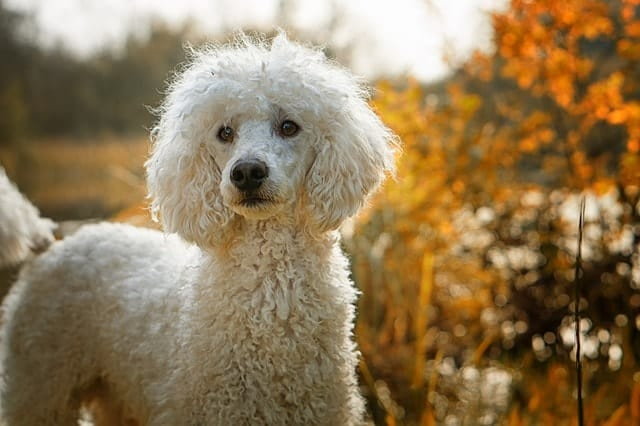 The Poodle was originally bred for many jobs, including hunting and water retrieving.