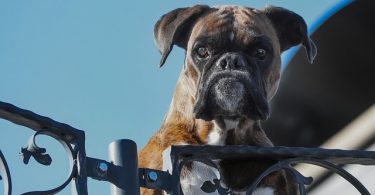 Boxer dogs were bred to do various tasks, including bull baiting, cart pulling, herding and more.