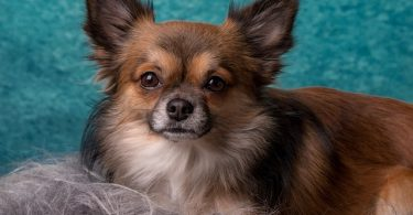 Chihuahuas were not bred for a specific purpose, however, they still served many purposes.