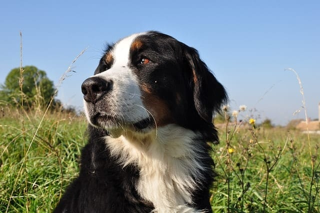 Bernese Mountain dogs are smart because they are obedient dogs, quick learners and have high adaptive intelligence.