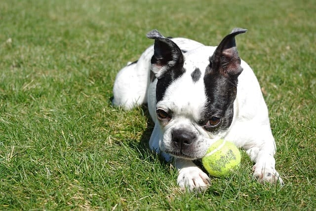 Because of high adaptive intelligence, we believe that Boston Terriers are much smarter than everyone thinks.