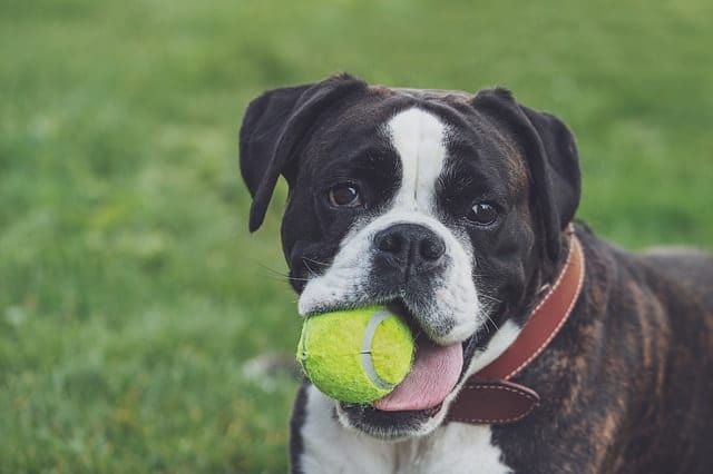 Boxers are ranked low for canine intelligence because they're independent and stubborn dogs.