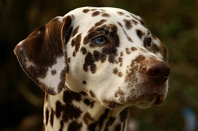 Here's why Dalmatians are smarter dogs than people give them credit for.