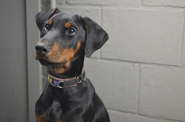 The reasons why Dobermans are even smarter than you think.