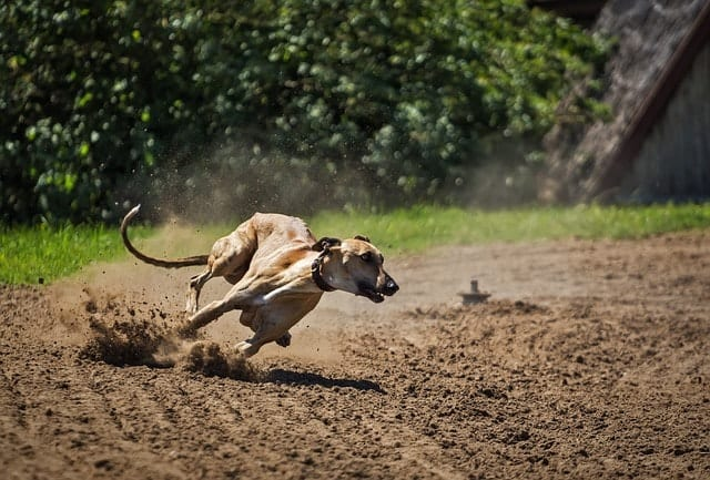 Greyhounds are highly intelligent because they excel in adaptive and instinctive intelligence.