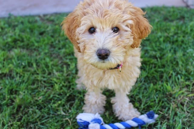 Labradoodles are highly intelligent because they have some of the best adaptive intelligence in the world.