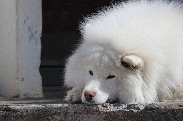 Aside from obedience and working, Samoyeds excel in other dimensions of canine intelligence.