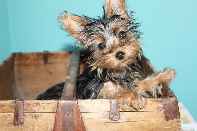 Yorkies are more intelligent that you think because they have high adaptive and instinctive intelligence.