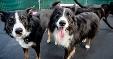Whether a Border Collie gets along with children depends heavily on the owners.
