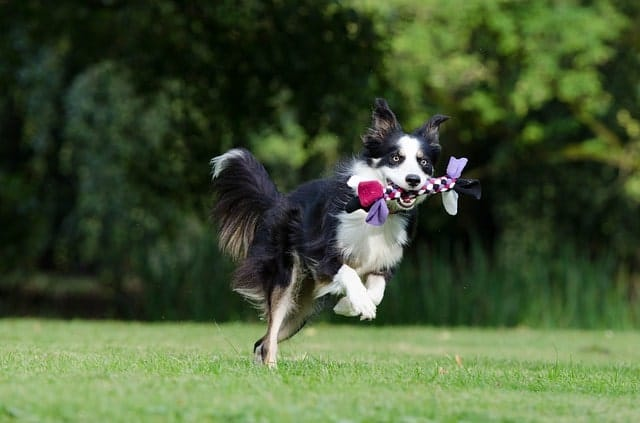 Border Collies are the most intelligent dog breed in the world.