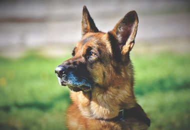 German Shepherds are highly intelligent. In fact, they're the 3rd smartest dog.