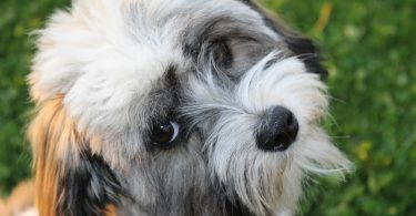 Havanese dogs are average intelligent dogs for working and obedience intelligence.