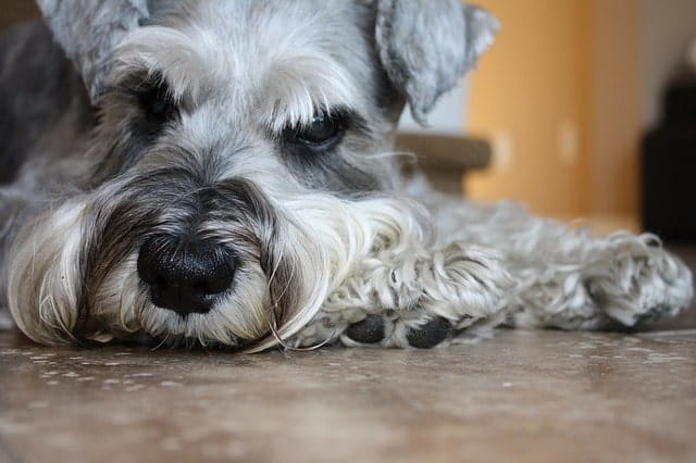Overall, miniature, standard and giant Schnauzers are highly intelligent dog breeds.