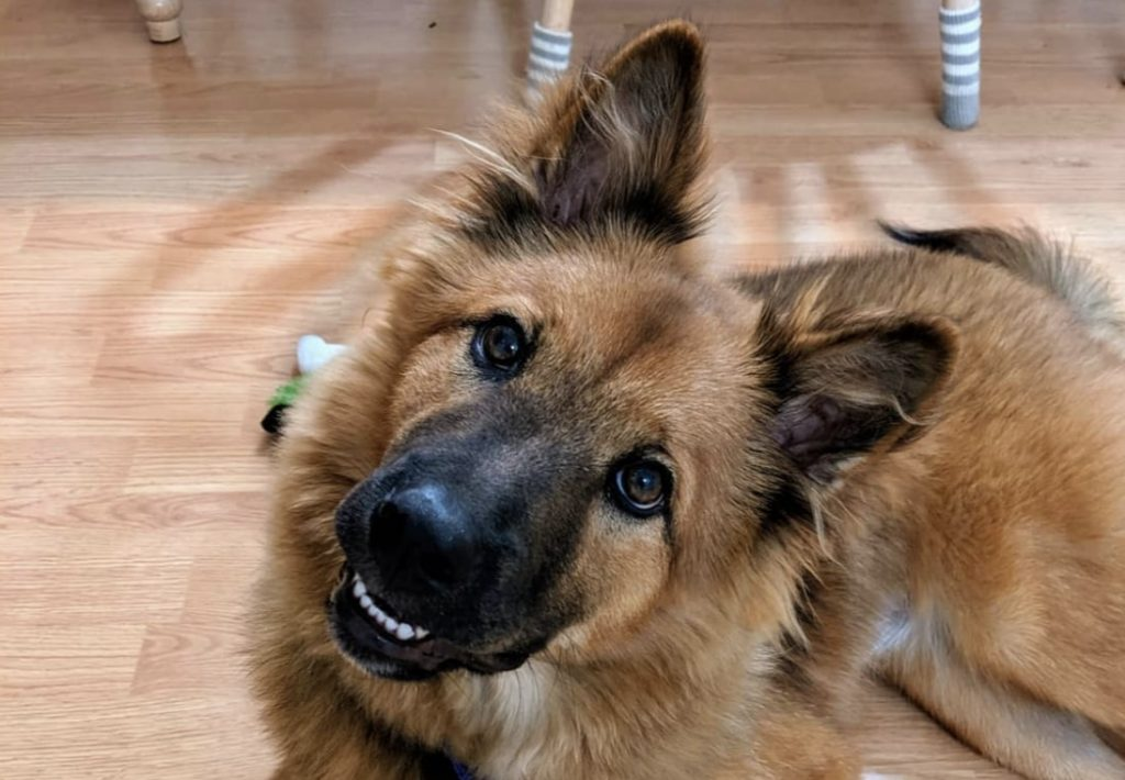 The Chow Chow German Shepherd mix.