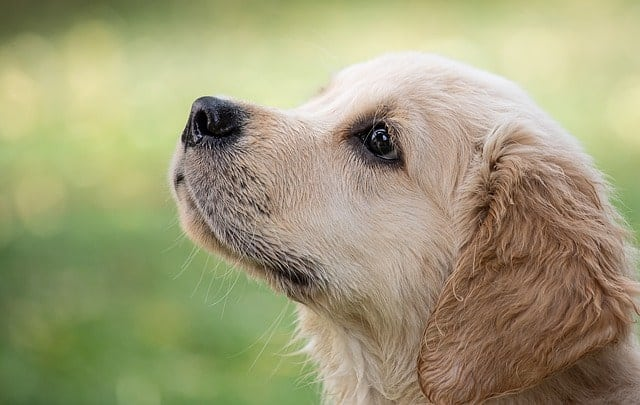 Golden Retrievers will bite, just like almost any other dog, but they are not vicious biters and mishaps are rare.
