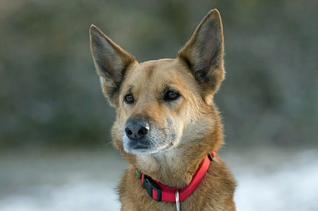 The best and most stunning German Shepherd mixes.