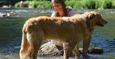 Golden Retrievers are moderate to heavy shedding due to their double coats.
