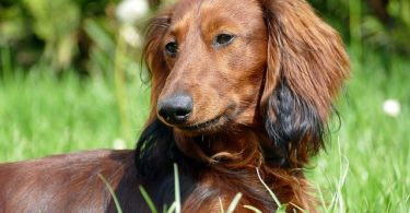 What's the average price of a Dachshund dog?