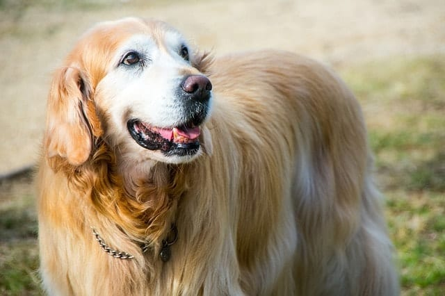 Golden Retrievers are one of the top 5 dog breeds that shed the most, according to VetStreet.