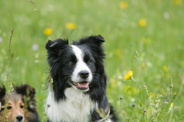 Is you Border Collie smart? How smart are they?