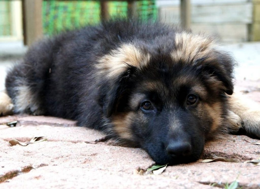 The Newfoundland German Shepherd hybrid.