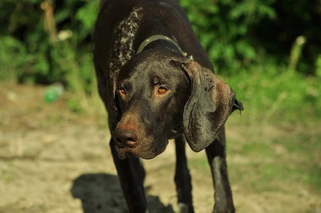What's the purpose of Pointer dog breeds?