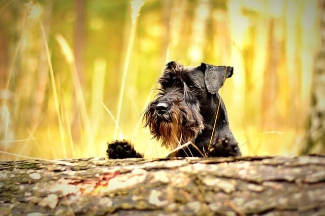 A smart Schnauzer means they need more mental stimulation.