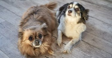 There are currently 67 small dog breeds that are officially recognized by the American Kennel Club.