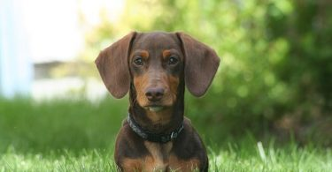 With short legs and a long body, the Dachshunds must have been bred for a purpose.
