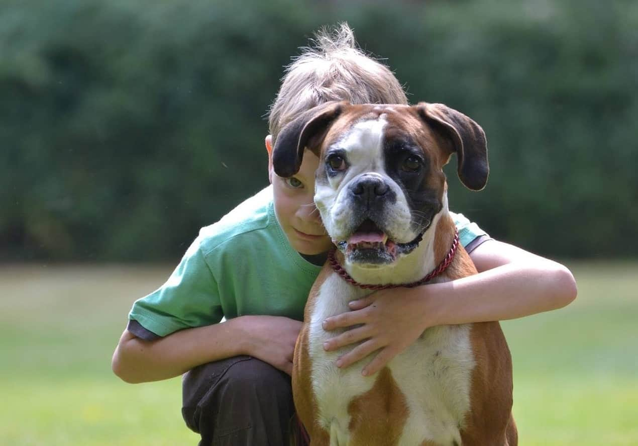 Boxers get along great with kids, though they're recommended for older kids.