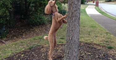 Poodles are some of the finest hunting dogs if properly trained.