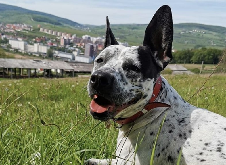 29 Playful Pit Bull Mixes - A Guide to Finding a Pitbull Mix