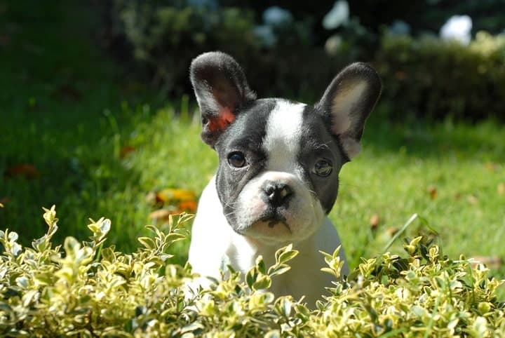 Boston Terriers are low shedding dogs, but still require maintenance and grooming.
