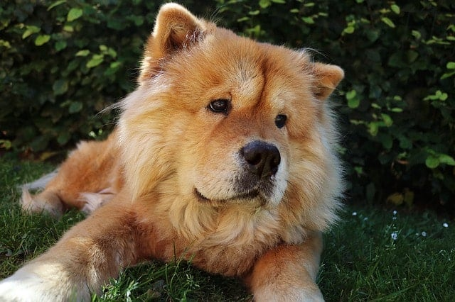 Chow Chows do shed a lot, but there are ways to minimize the shedding.