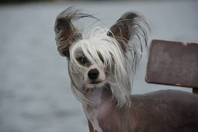 There are only 11 hairless dog breeds in the world. This is the complete list of hairless dogs.