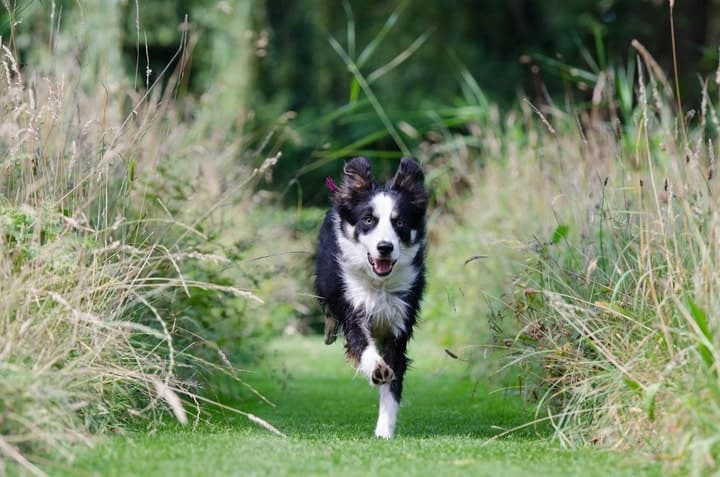 An Australian Shepherd may run away if not properly trained. There are many reasons they may run, such as a chase motive.
