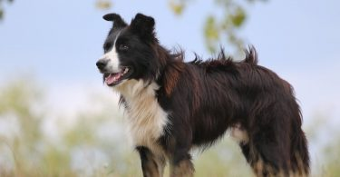 Everything you need to know about Border Collie shedding.