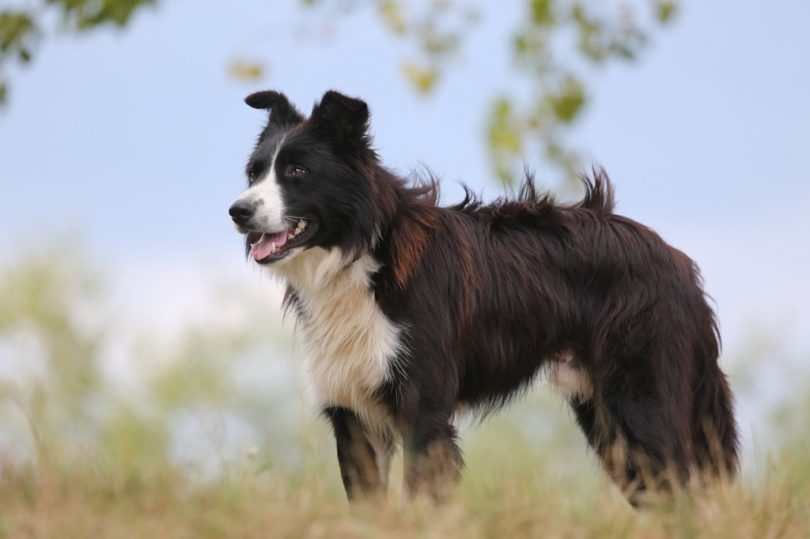Do Border Collies Shed An Owner S Guide To Shedding
