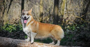 Do Corgis have tails and or they born without tails?