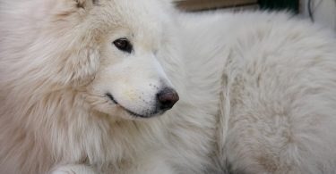 The ultimate guide to Samoyed shedding.