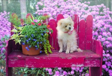 What are Pomeranians really bred for?