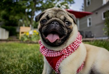 We explore why Pugs were originally bred to do, along with their rich royal history.