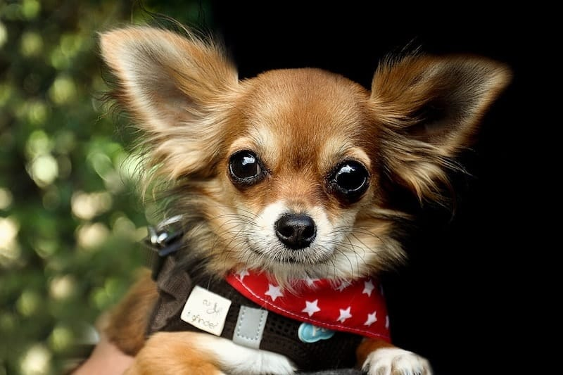 Do Chihuahuas get along with children? A guide for parents.