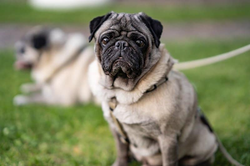 An owner's guide to aggression in pugs.